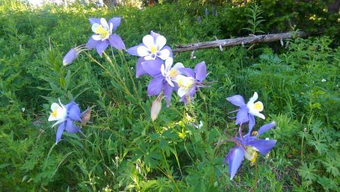 Columbines for website